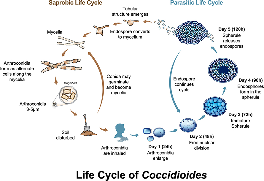 Life-Cycle-of-coccidioides-890x610.jpg
