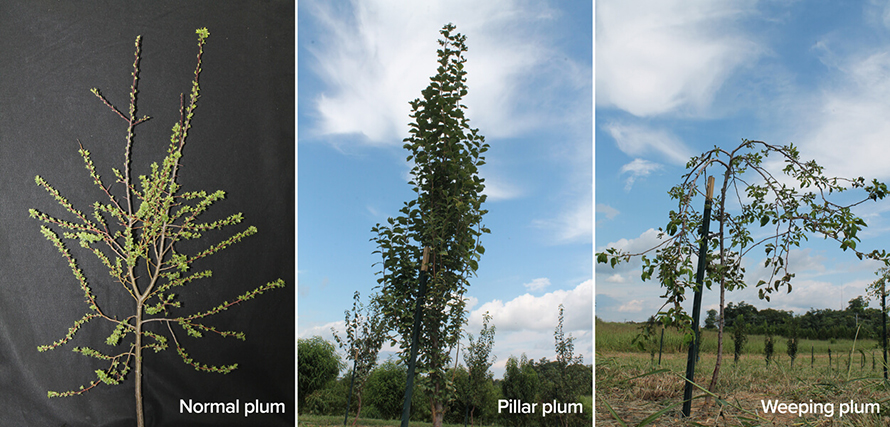 P-three-plum-trees-890x427.jpg