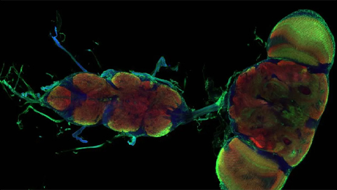 Astrocyte cells in the fruit fly brain are an on-off switch