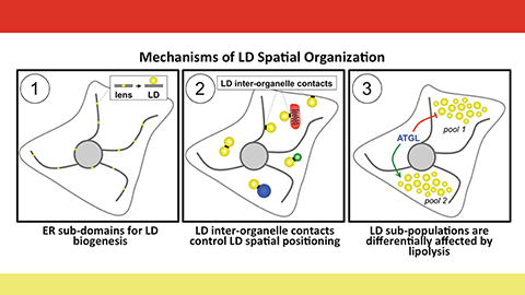 Organizing fat: Mechanisms of creating and organizing cellular lipid stores