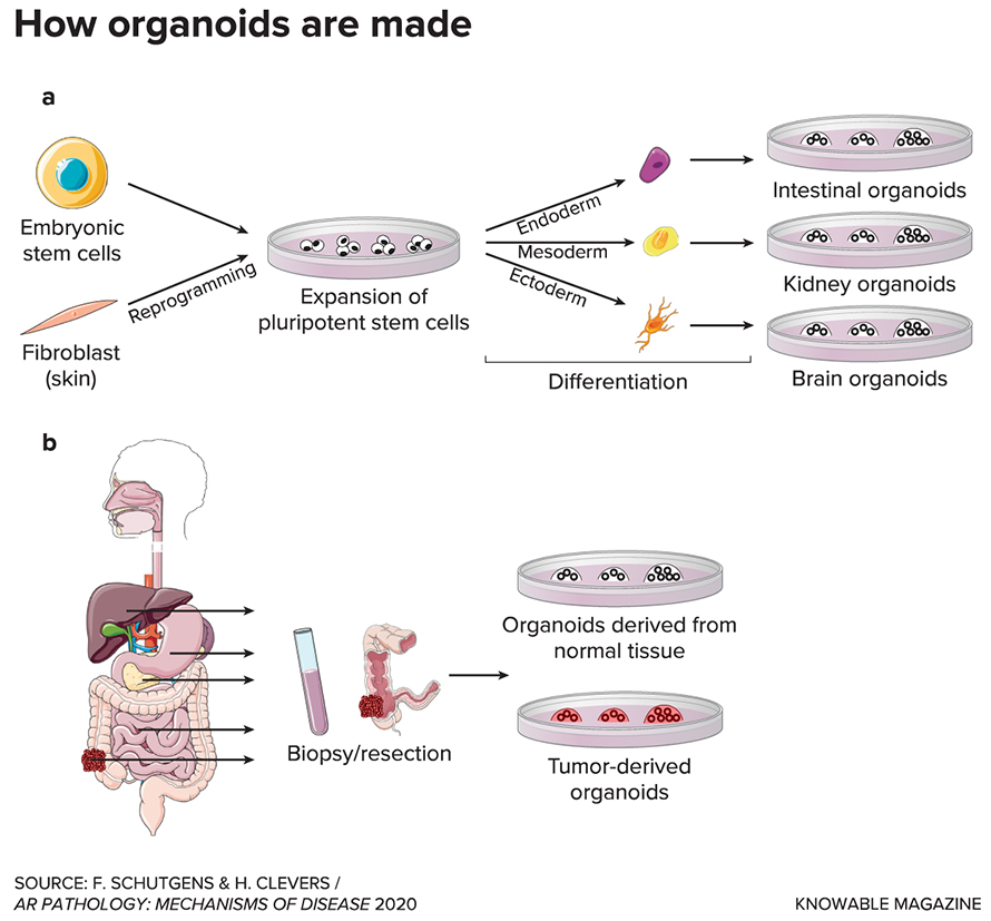 G-how-organoids-are-made-890x827.jpg