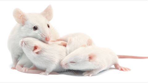 In mice, a mother's love comes from the gut