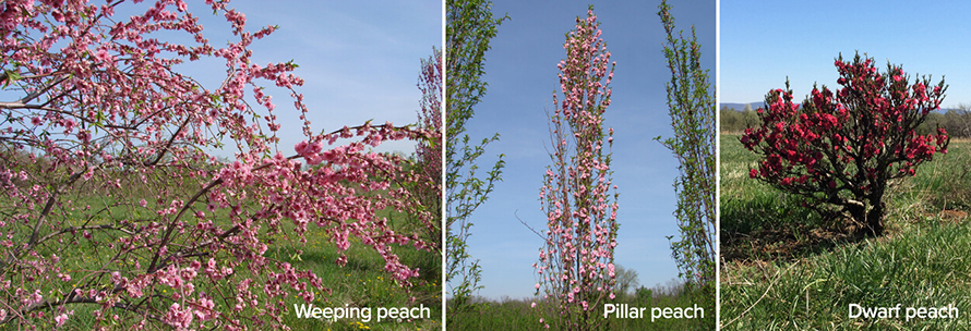 P-three-peach-trees-890x304.jpg
