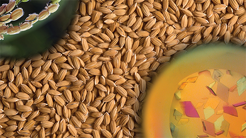 JBC: Paving the way for disease-resistant rice