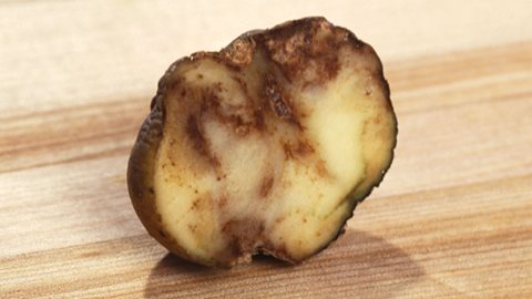JBC: Blocking potato blight's ability to set up shop