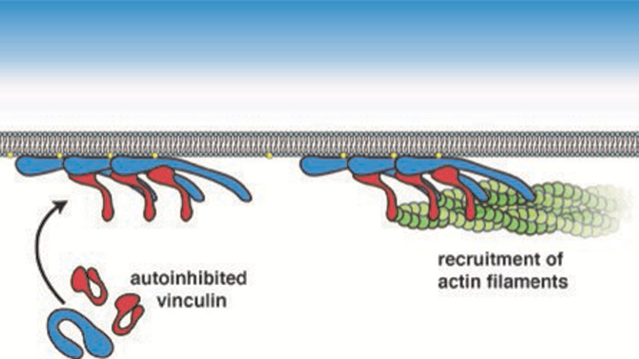 Phospholipid-rich membrane domains, integrins and actin cytoskeletal organization