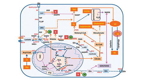 JLR: Using microRNAs to target cancer cells