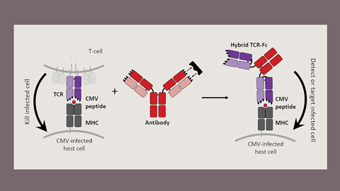JBC: Outfitting T cell receptors for special combat