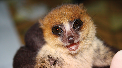 Mouse lemurs — a model in the wild