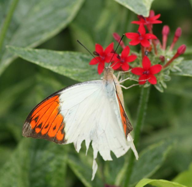 hebomoia glaucippe butterfly