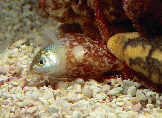 Conus snail