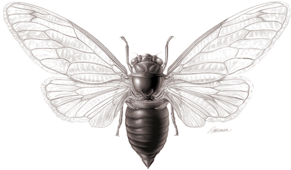 Depiction of a 17-year cicada