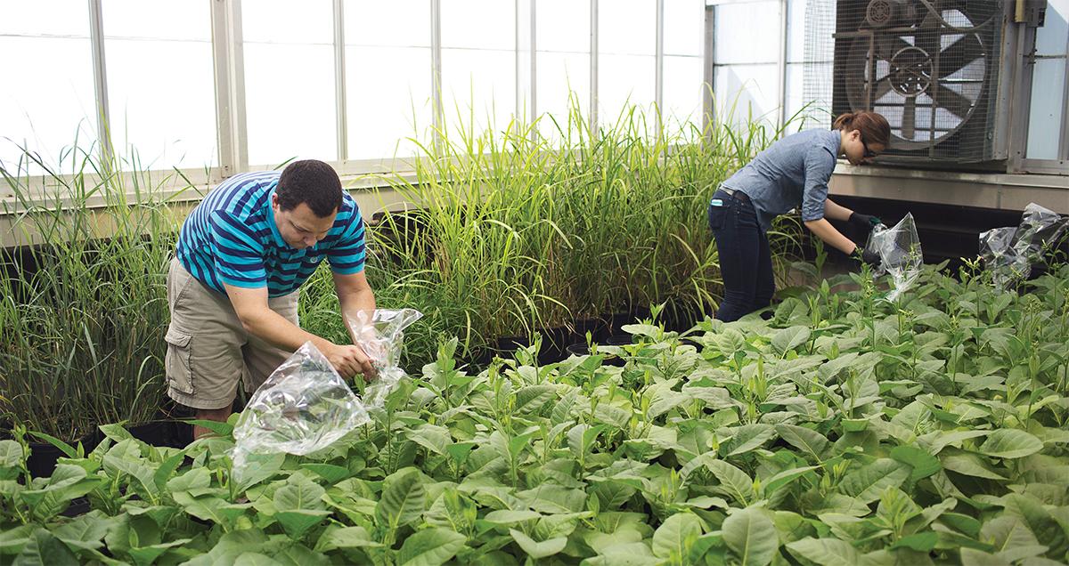 Bagging tabacco plants
