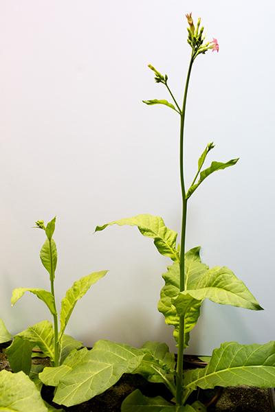 Tabacco plants