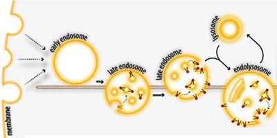 After endocytosis figure