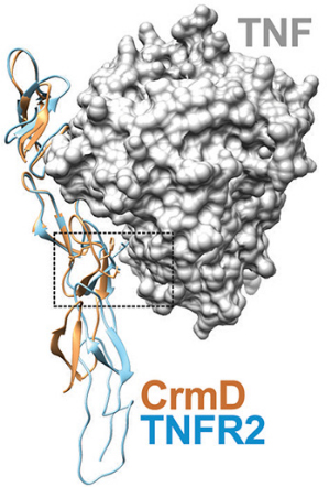 Overlaid crystallographic structures of CrmD