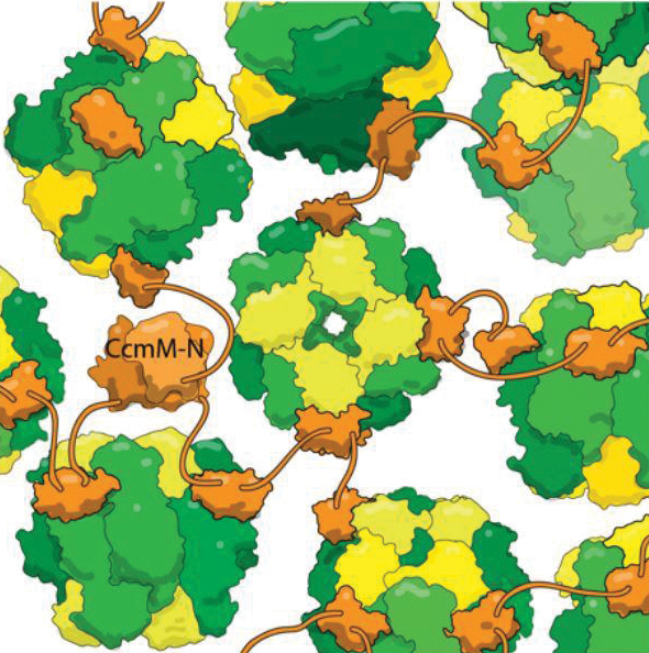 CcmM (orange) binds to RubisCO holoenzymes (yellow and green)