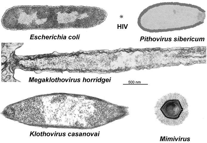 Meelsvirus