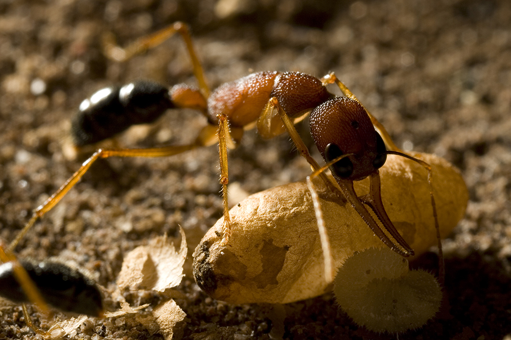 Harpegnathos worker ant